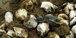 Bir Deniz Kaplumbağası Evlat Edinin