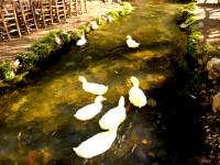 Yeşil Başlı Gövel Ördek, Biri Anne Biri Yedek