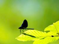Dere Kelebeği