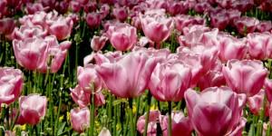 Osmanlı Çiçeklerinin Sultanları Laleler, Vezirleri Sümbüller ve Nergisler