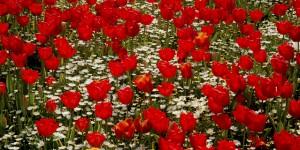 Safranbolu Misafirlerini Çiçeklerle Karşılayacak