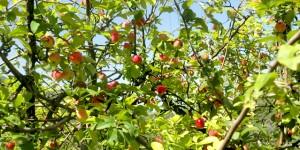 Ekolojik Meyve Fidanları %100 Ekolojik Pazarlarda!