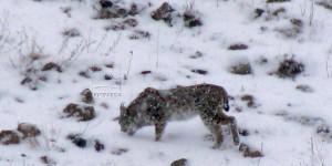 Kars Sarıkamış'ta Yabani Kedi Türü Vaşak Görüntülendi