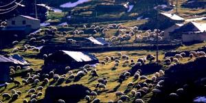 Akşam, Koyunlar ve Son Yemek Telaşı