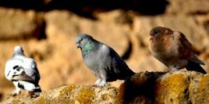Güvercin…