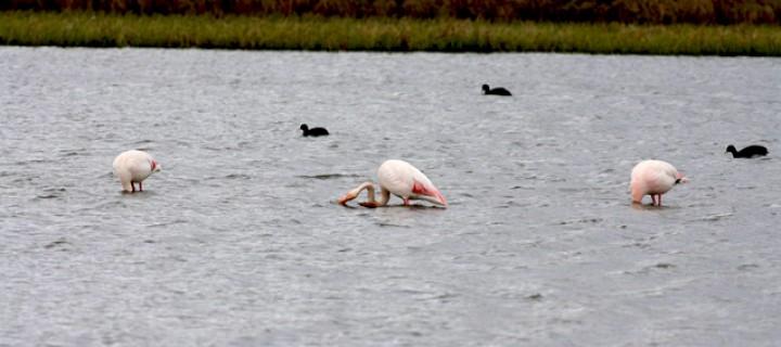 Ardahan'ın İlk Flamingoları