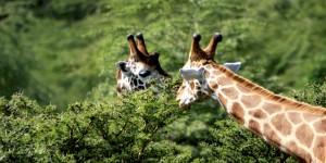 Nakuru Milli Parkı