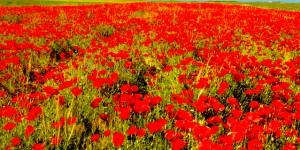 'Açma Çiçek, Ağlatma Beni'