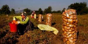 Bolu'nun Patates İşçileri