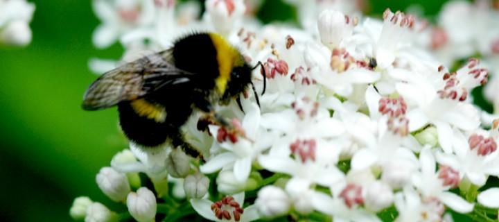 Kovanına Çomak Soktuğum Arılarda Partenogenez