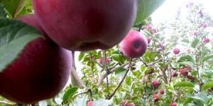 İhsaniye Elması
