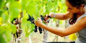 Kayra İle Şarabın Doğduğu Topraklarda Bağ Bozumu Heyecanı