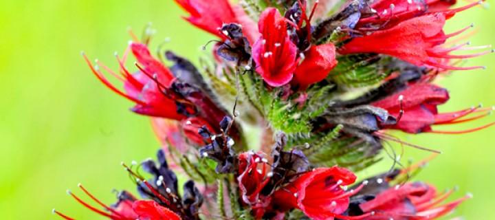 Echium amoenum