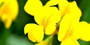 Lotus comiculatus