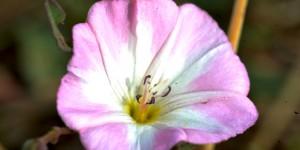 Aras Vadisi Havzası'nda Çiçek Peşinde