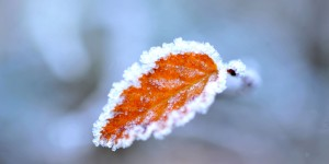 Sararmış Yaprak ve Buz