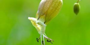 Silena vulgaris