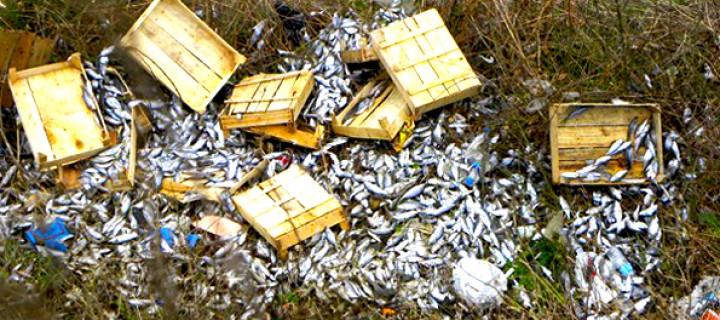 Kayalıklarda Kasalar Dolusu Ölü Çinekop