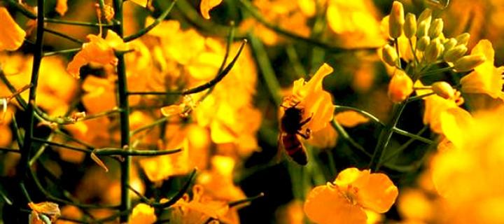Monsanto Arıcılara Tazminat Ödemeli!