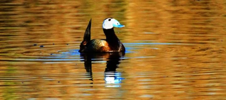 Kışın Türkiye'ye Kaç Su Kuşu Bulunuyor?