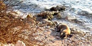 Yaralı Akdeniz Fokunu Kurtarma Kampanyası