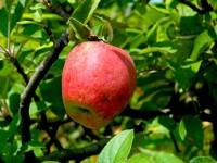 Bir Elmanın Öyküsü: Organik Yemek Ya Da Yememek