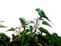 Kentlerimizde Yeni Bir Misafir: Yeşil Papağan