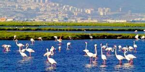 Aziz Kocaoğlu Flamingolar Hakkında Yanlış Mı Bilgilendiriliyor?