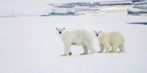 Kutup Ayılarının Geleceği Tehlikede