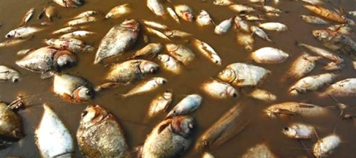 Toplu Balık Ölümleri İzlanda'yı Korkutuyor