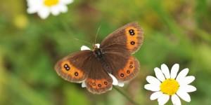 Paflagonya'nın Kelebekleri