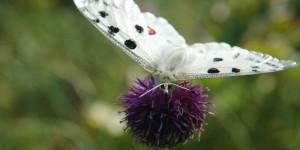 Paflagonya'nın Büyülü Kelebekleri