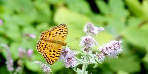 Samanlı Dağları'nın Kelebekleri
