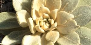 Anamas ve Eğirdir Yöresinin Tıbbi – Aromatik Bitkileri