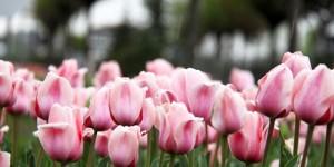 Safranbolu'da Laleler Çiçek Açtı