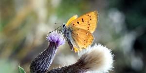 Çoruh'un Kelebekleri