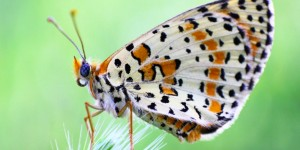 Kelebek / Kazdağları