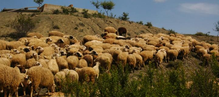 27 Mayıs / Koyun Kırkma Zamanı. Sıcakların Başlaması