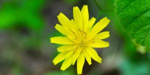 Yenice'nin Yaban Çiçekleri -5
