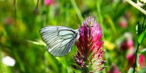 İda'nın Kelebekleri