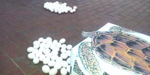 'Caretta'lar Cumhuriyet Meydanı'nda Yumurtladı