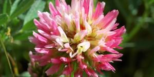 Anamas'ın Çiçekleri -14