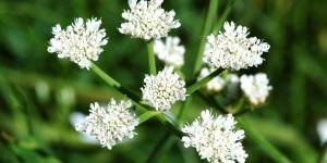 Anamas'ın Çiçekleri -17