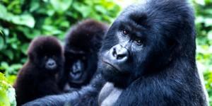 Virunga Petrole Değil, Yaban Hayatına Ev Sahipliği Yapmalı!