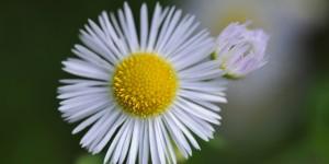 Doğu Karadeniz'in Çiçekleri -12
