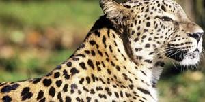 Ya Leoparın Yaşam Hakkı?