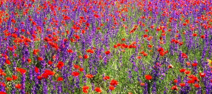 Yıldızeli'nde Çiçek Tarlası
