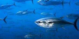 Atlantik Orkinosu Komisyonu Kararları Bilime Dayanmalı