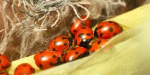 İda'nın Uğurböcekleri -6