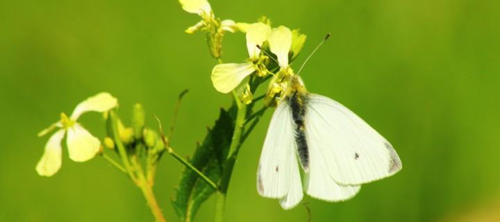 İda'nın Kelebekleri -4